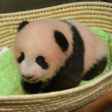 上野動物園パンダのライブ映像は?シャンシャン公開のカメラ動画!